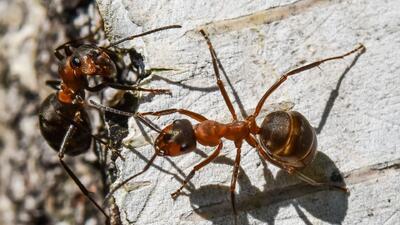 Una invasión de hormigas se ha convertido en la pesadilla de una familia hispana de Dallas