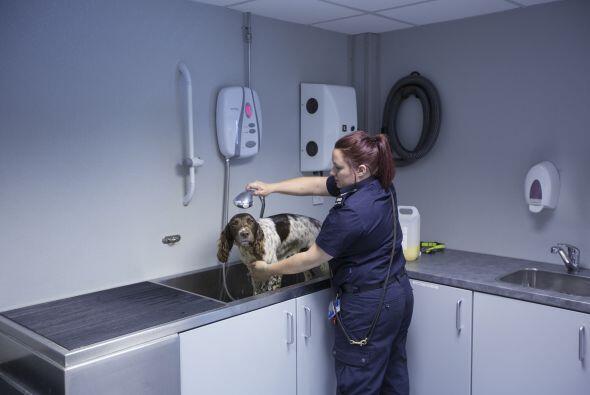 Por lo regular los perros trabajan en el aeropuerto de Inglaterra ya que...