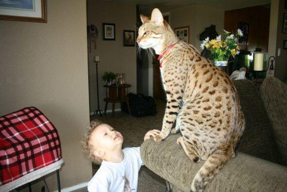 Trouble Él es el minino doméstico más alto del mundo. De los hombros a l...