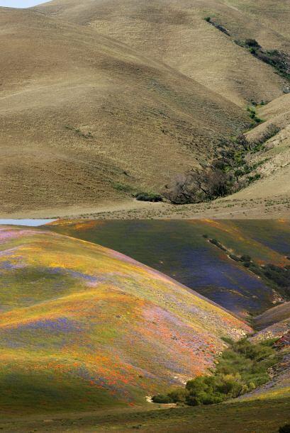 Las colinas en California poco a poco se han ido secando debido a los in...