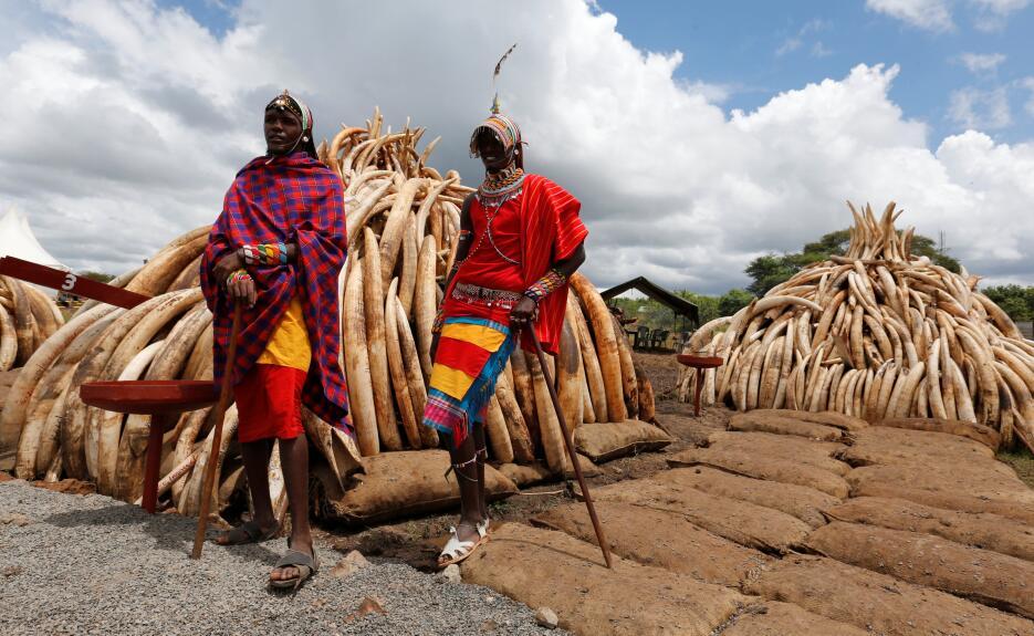 Kenia realiza la mayor quema de marfil confiscado de la historia Kenia-m...