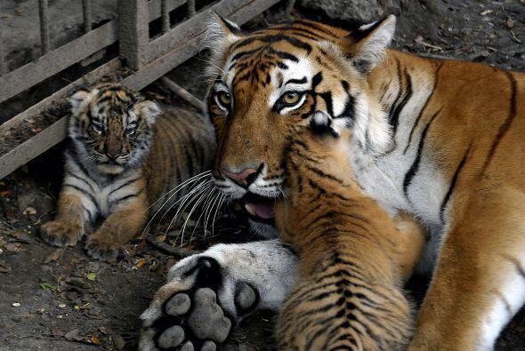 En Colombia nacieron dos bebés tigres de bengala.
