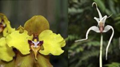 La orquídea,  termómetro de la conservación ambiental ba9989ee265043fe90...