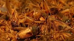 Una plaga de grillos invade un pueblo peruano y obliga a la suspensión d...