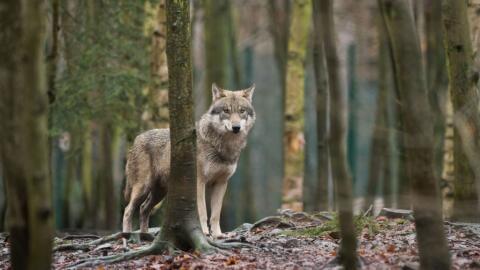 Un lobo en Thale, en el norte de Alemania. Un siglo después de qu...