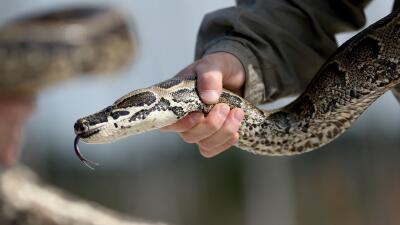 Serpiente pitón en los Everglades