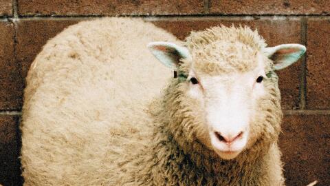 Dolly fue clonada de una célula adulta en Edimburgo.
