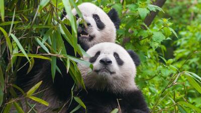 Para 'el día más romántico' del año, los pandas necesitan pornografía