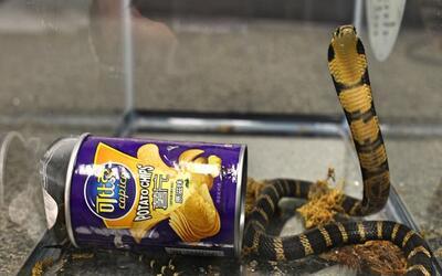 Una de las tres serpientes king cobra hallada en contrabando de Hong Kon...