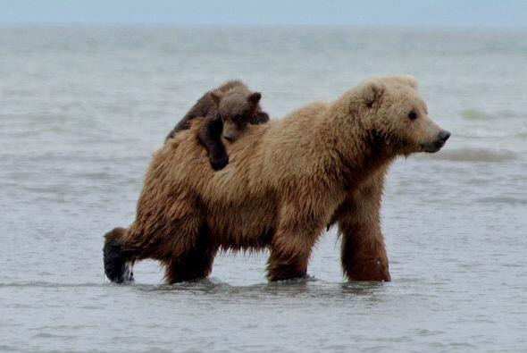 Y el pequeño oso tenía que agarrarse bien.