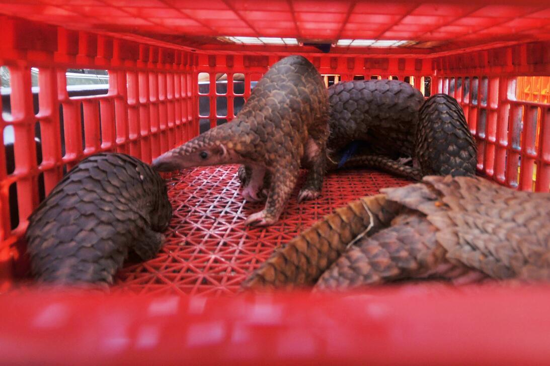 El mamífero más traficado del mundo tiene una lengua del tamaño de su cu...