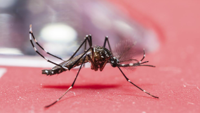 salud mosquito zika