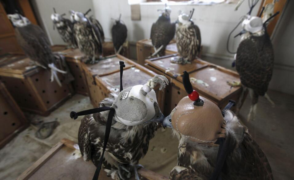 Falcons are seen at the offices of Sindh Wildlife Police after they were...