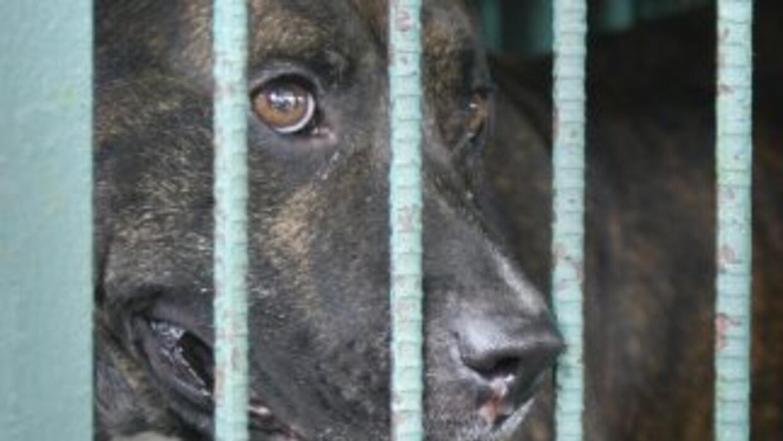 Los 28 perros rescatados eran pitbulls o mezclados con esta raza, muchos...