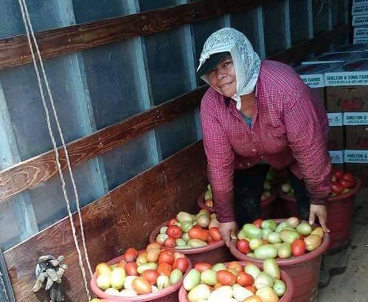 Doña Paula en la cosecha de tomates en Morrison, Tennessee, donde el cal...