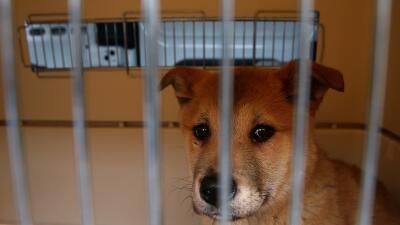Esta cachorro fue rescatado de una granja de producción de carne de perr...
