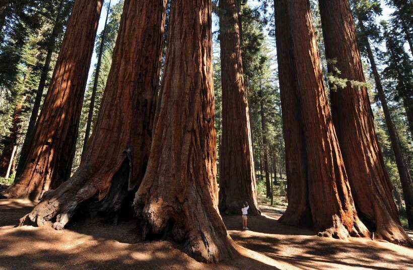 Las sequoias son los árboles más grandes del mundo. Estas miden cientos...
