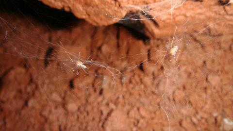 Dos especímenes de la nueva especie de araña brasilera Och...