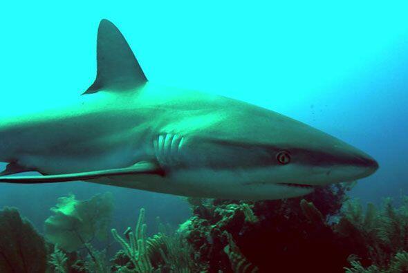 ¿Te animarías a darle un pececito a este gran tiburón?