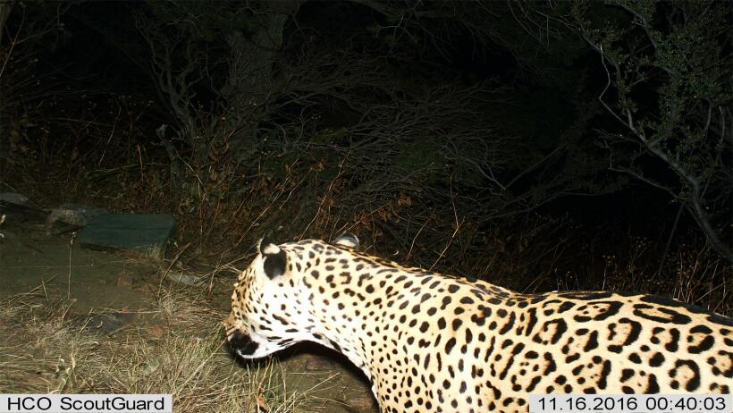 Jaguar mexicano cruzó la frontera y fue captado en las montañas del sur...