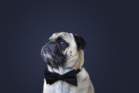 Él es un Pug muy fotogénico, su nombre es Norm.