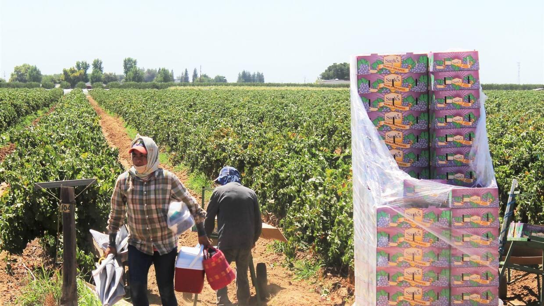 Campesinos en una plantación en California.