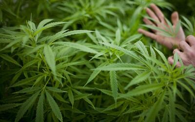 La marihuana, una opción de regalo por el Día de las Madres en California