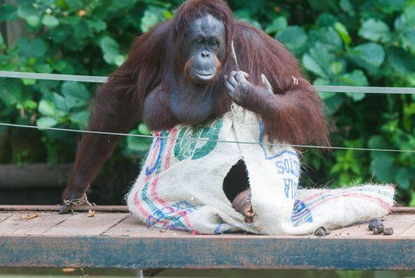 Aunque los cuidadores hayan puesto agujeros en los sacos los orangutanes...
