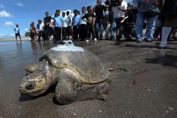 Una tortuga marina Golfina que anidó en una playa de El Salvador será mo...