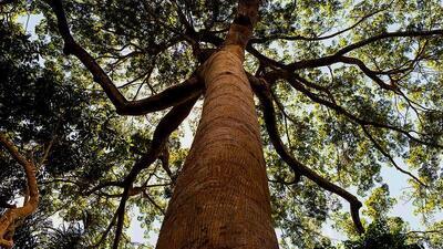 Talar los bosques de forma selectiva ayuda a árboles restantes a absorbe...