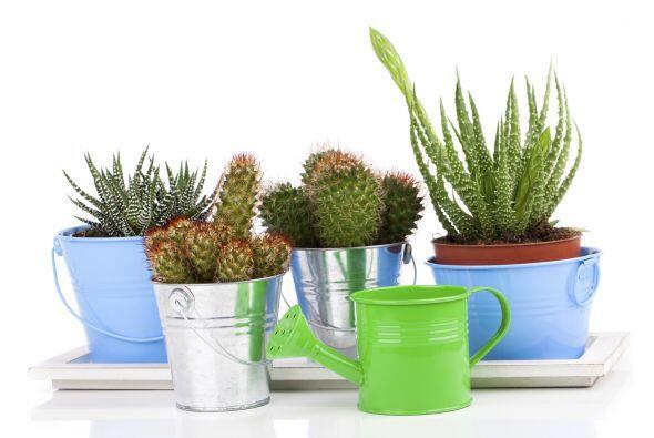 Los cactus y las suculentas son plantas perfectas para decorar. Requiere...