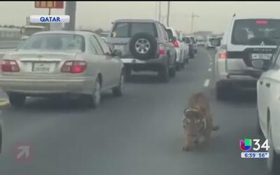 Tigre se escapó en plena autopista