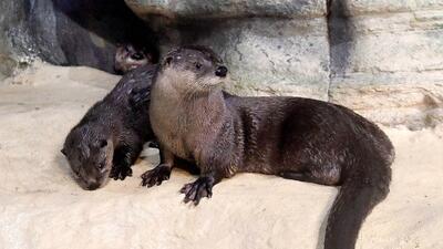 Dos bellas nutrias hacen su debut en el zoológico Brookfield