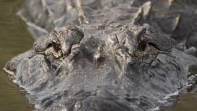 """Buscan """"vivo o muerto"""" a caimán que hace dos años aterroriza a mascotas..."""
