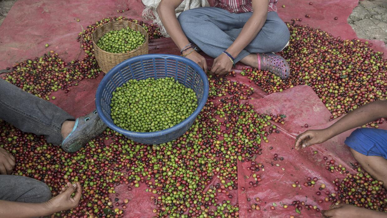 Después de la cosecha, los granjeros clasifican granos de café en Tapach...