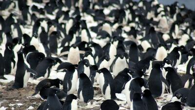 Por años pensaron que estos pingüinos desaparecerían, ahora hallaron una megacolonia 'oculta' en la Antártida