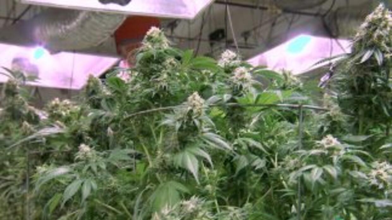 Así es el cultivo legal de marihuana en Denver, Colorado