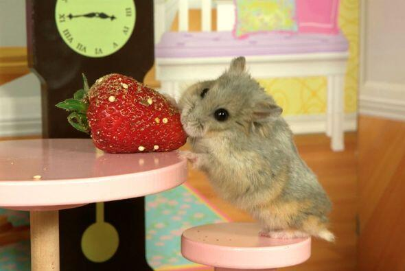 Sus videos han dado la vuelta al mundo, pues el simpático roedor parece...
