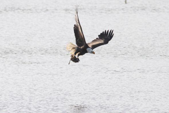 El ave se abalanzó sobre su presa que no sintió cuando ésta sobrevolaba...