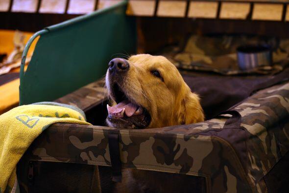 Un golden retriever disfrutaba de un descanso después de ser juzgado en...