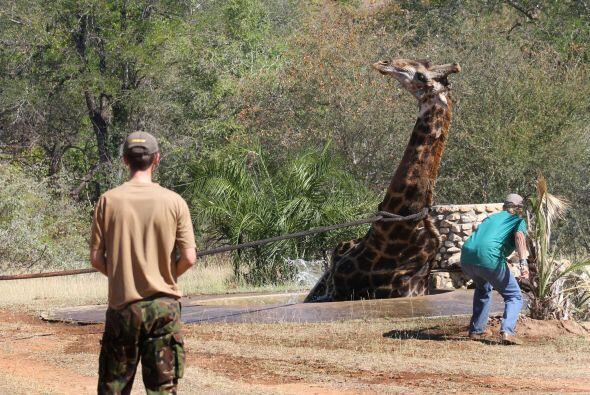 La jirafa celebró en silencio que pudo librarse de la trampa de agua, se...