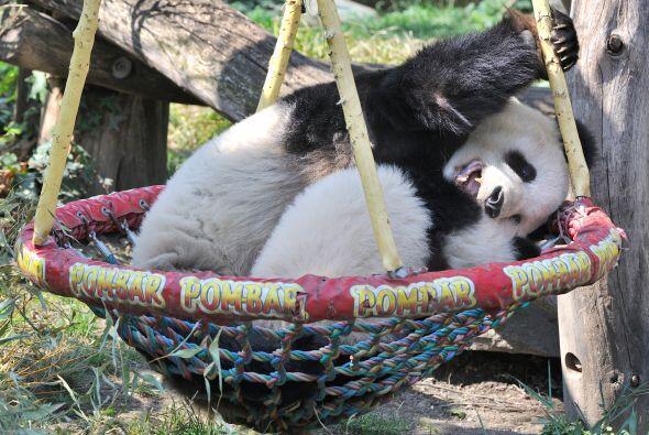Abrazos y más abrazos eran los que la mamá panda no podía dejar de darle...