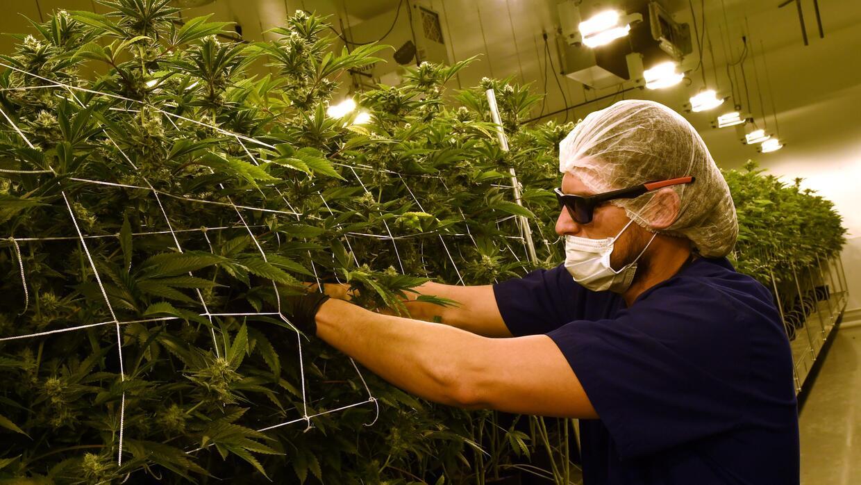 La marihuana puede resultar una alternativa efectiva entre individuos qu...