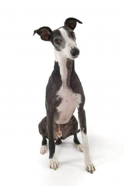 Davy es un perro de raza whippet, considerada la segunda más ágil del mu...