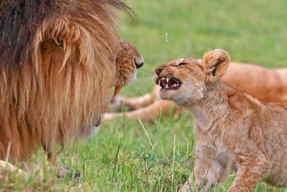Este león disfruta de pasar un rato divertido con su cachorro.