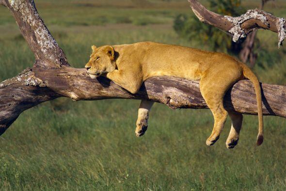Y como nunca es tarde para tomar una siesta esta leona aprovecho esta ra...