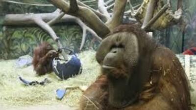 Eli, el orangután de Utah pronostica que Seattle ganará el Súper Bowl.