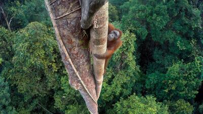 El vértigo y un orangután se llevan el premio a la mejor fotografía de la vida salvaje