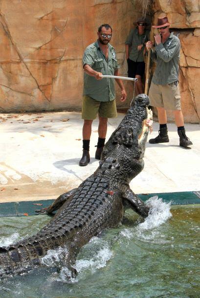 El cocodrilo Chopper de agua salada es un reptil de más de 18 pies de la...
