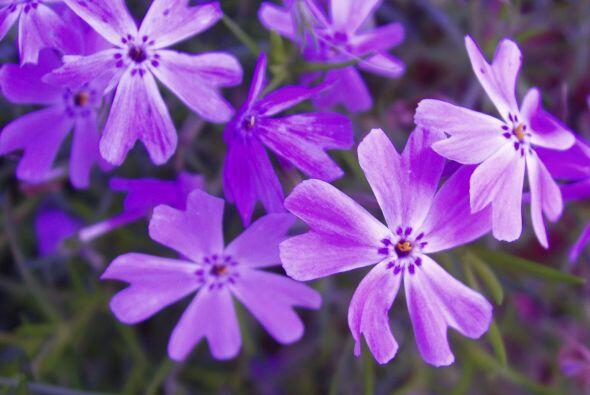 """Phlox subulata. Una flor con presencia, de esas que dicen """"aquí estoy yo..."""